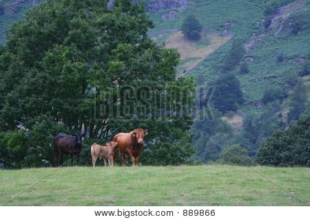 cows grazing in the lakeland valley hills poster