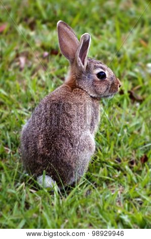 Cottontail bunny rabbit on the green grass in the garden