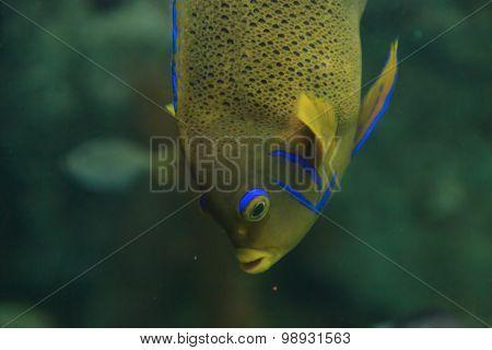 Bermuda blue Angelfish, Holacanthus bermudensis