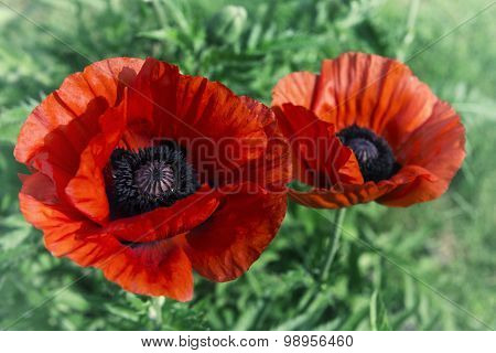 Poppies, Image In Old Style