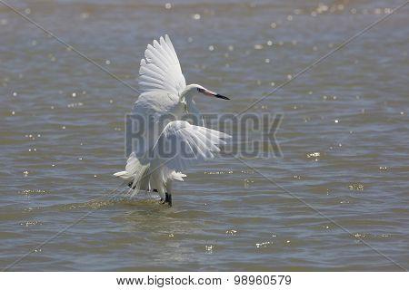 White Morph Of Reddish Egret Foraging For Food
