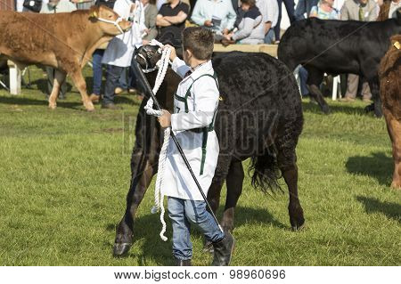Cow Being Judged