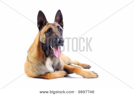 belgian shepherd dog isolated on white background poster