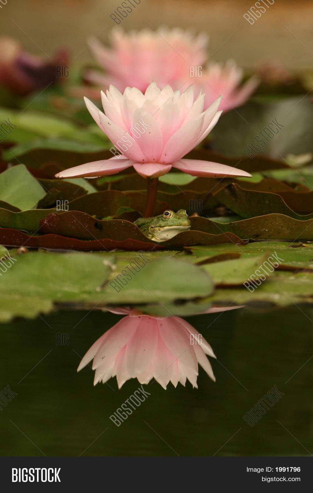 Water lily prince image photo free trial bigstock water lily prince izmirmasajfo