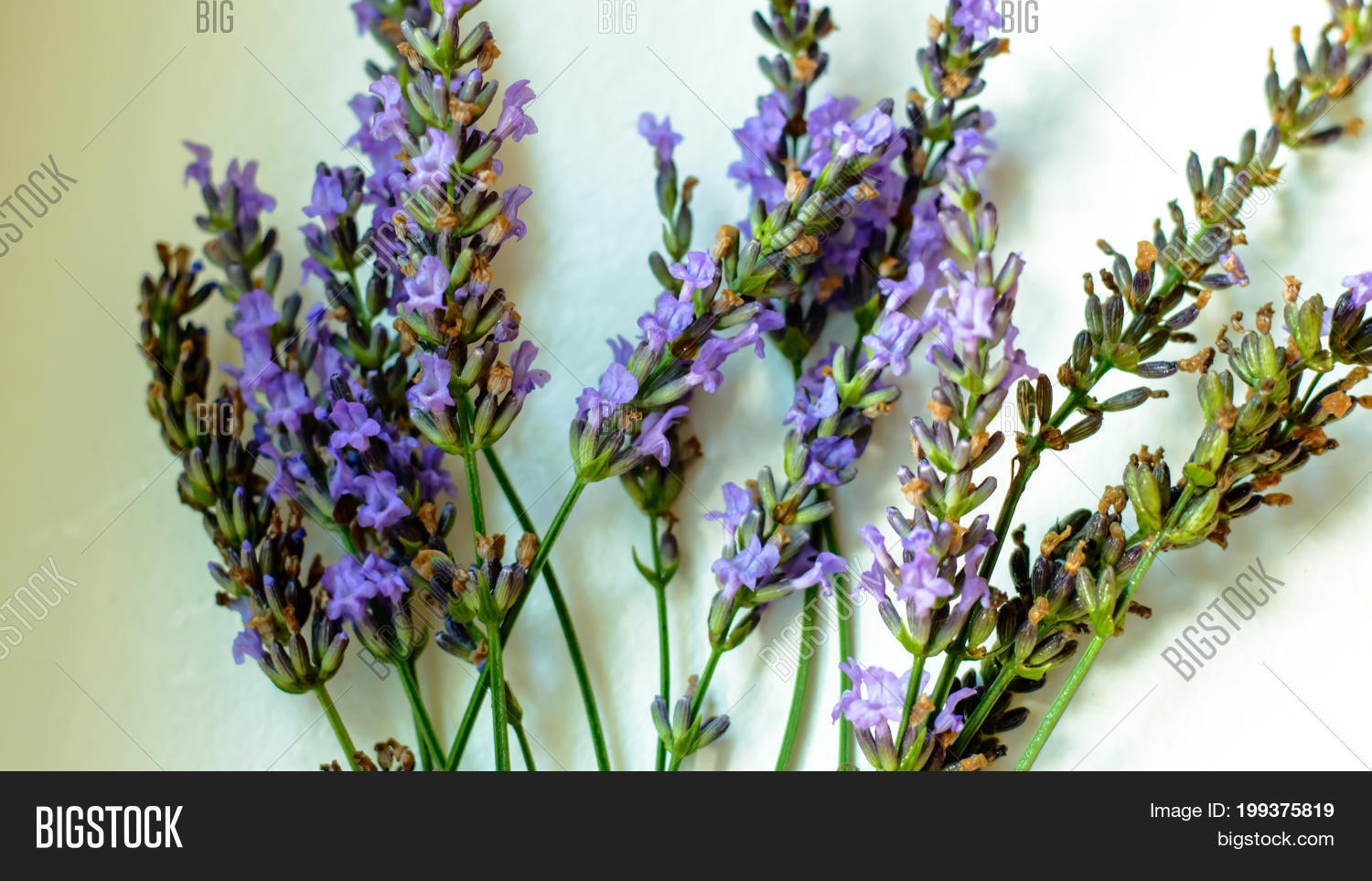Beautiful lavender image photo free trial bigstock beautiful lavender flower selective focus on white background indoors conceptual of when to pick english izmirmasajfo