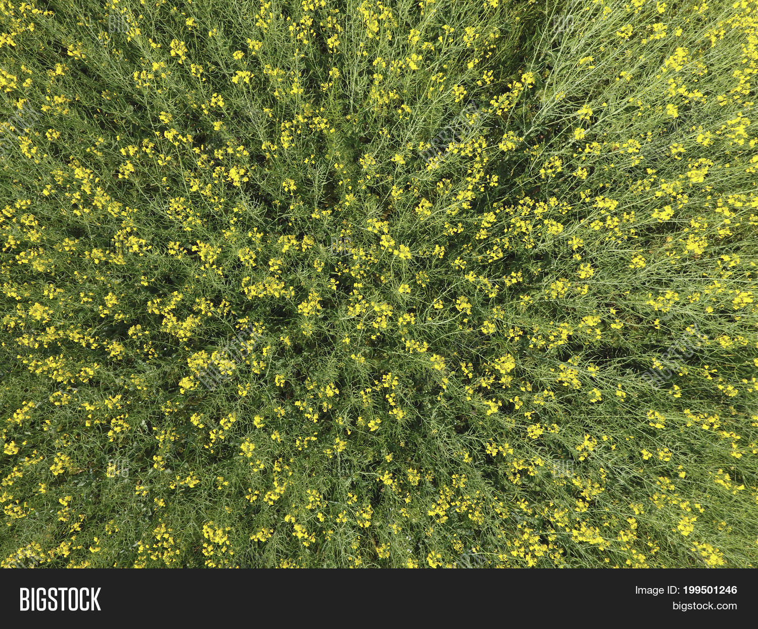 Field flowering rape image photo free trial bigstock field of flowering rape top view from the drone rape a syderatic plant izmirmasajfo