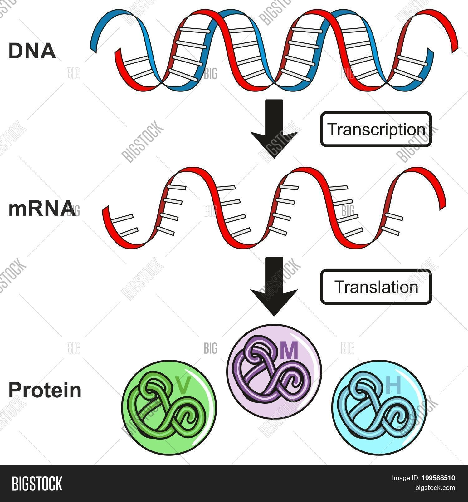 Central dogma gene image photo free trial bigstock central dogma of gene expression infographic diagram showing the process of transcription and translation from dna ccuart Choice Image