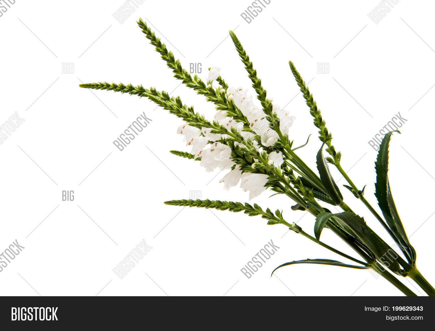 Veronica white flower image photo free trial bigstock veronica white flower on a white background mightylinksfo