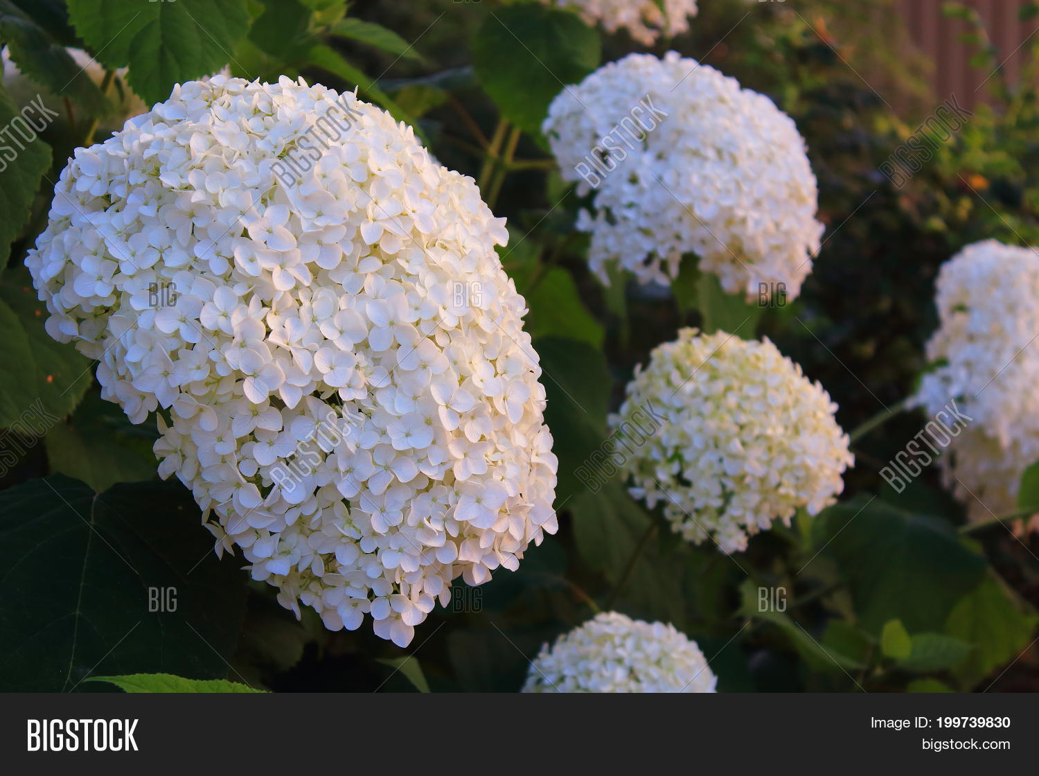 White Viburnum Flowers Image Photo Free Trial Bigstock