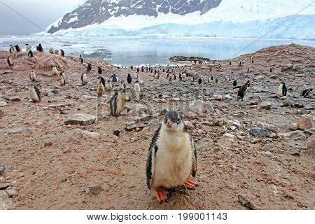 Gentoo penguins, Pygoscelis Papua, Antarctic Peninsula Antarctica