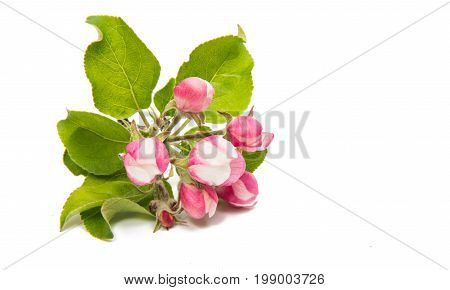 apple flower blooming on a white background