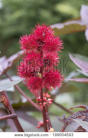 A Castor-oil-plant Flower with Seeds close up.