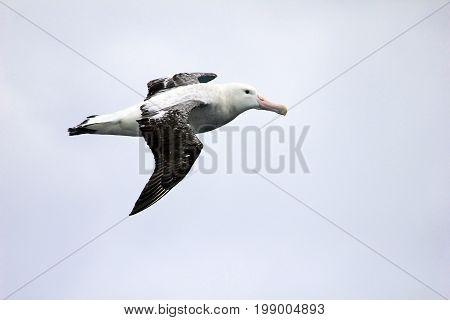 Flying Wandering Albatross, Snowy Albatross, White-Winged Albatross or Goonie, diomedea exulans, Antarctic ocean, Antarctica poster