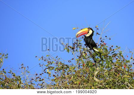Toco Toucan (aka Common Toucan Giant Toucan) Eating Berries in the Top of a Tree. Rio Claro Pantal Brazil
