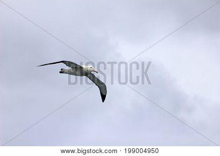 Flying Wandering Albatross, Snowy Albatross, White-Winged Albatross or Goonie, diomedea exulans, Antarctic ocean, Antarctica