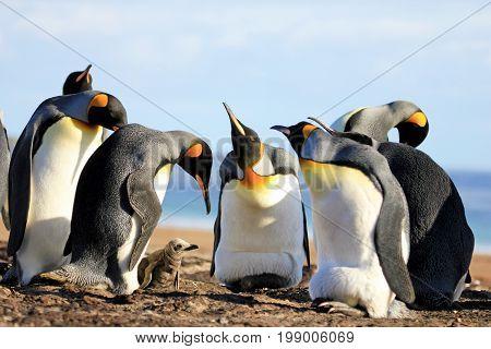 King penguins with chick, aptenodytes patagonicus, Saunders Falkland Islands Malvinas