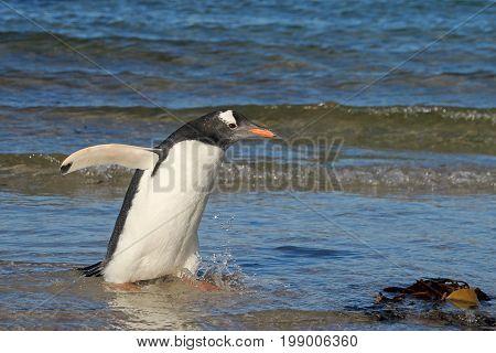 Gentoo penguin, Pygoscelis Papua, Saunders Falkland Islands Malvinas