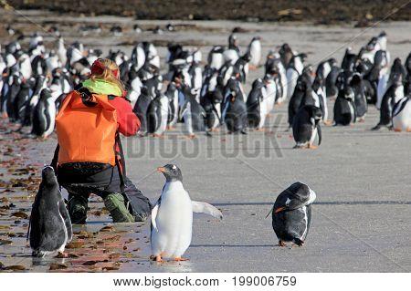 Photographer taking pictures of Gentoo penguins, Saunders, Falkland Islands, Malvinas