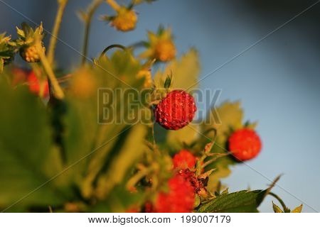 Wild Strawberry Plant With Green Leafs And Ripe Red Fruit - Fragaria Vesca