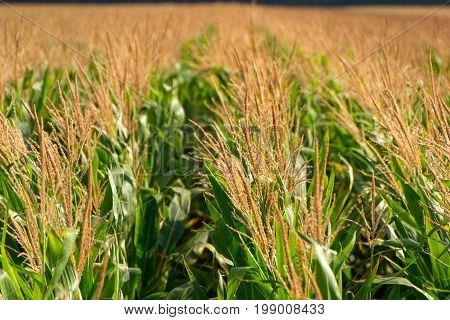 Corn field. Field of corn in sunny morning