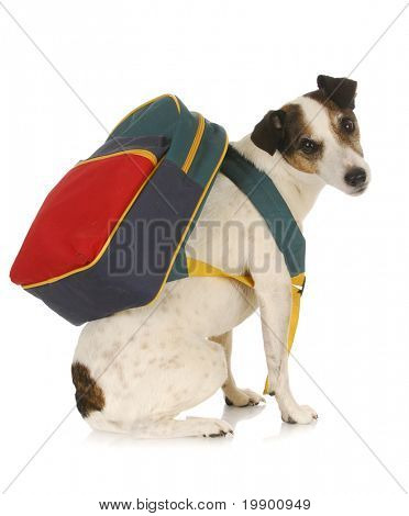 dog school - jack russel terrier wearing backpack on white background poster