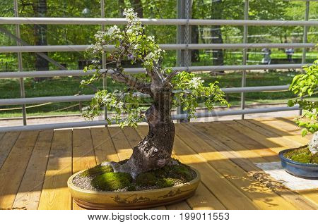 Mahaleb Cherry - Bonsai In The Style Of