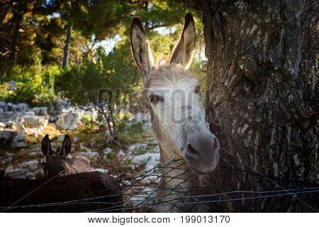 A donkey behind the fence on Telascica island. Nature park Telaščica.