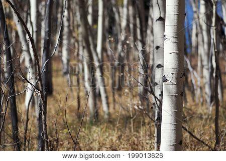 A Colorado aspen grove in late autumn.