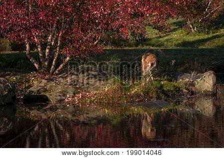 Coyote (Canis latrans) on Island - captive animal