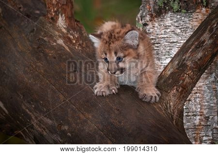 Female Cougar Kitten (Puma concolor) on Branch Claws Out - captive animal