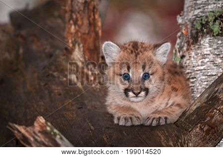 Female Cougar Kitten (Puma concolor) Big Blue Eyes - captive animal