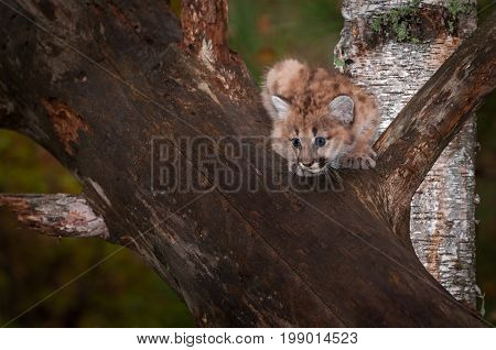 Female Cougar Kitten (Puma concolor) Looks To Jump - captive animal