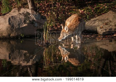 Coyote (Canis latrans) Splashes Knee Deep in Water - captive animal