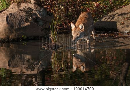 Coyote (Canis latrans) Reflected Walks Into Water - captive animal