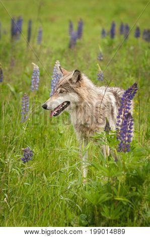 Grey Wolf (Canis lupus) Pants - captive animal