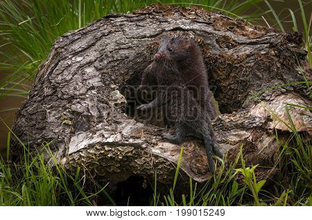 Adult American Mink (Neovison vison) Hauls Kit Into Log - captive animals