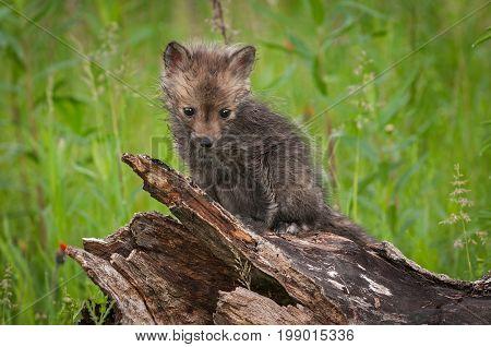 Red Fox (Vulpes vulpes) Kit Sits - captive animal