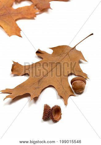 Autumn Acorns And Dried Leafs Of Oak