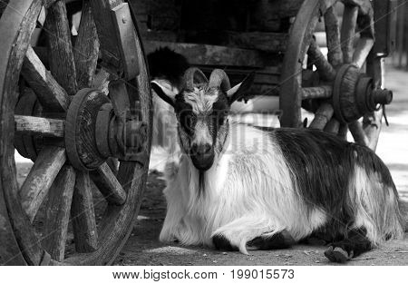 Goat resting under old wooden cart .