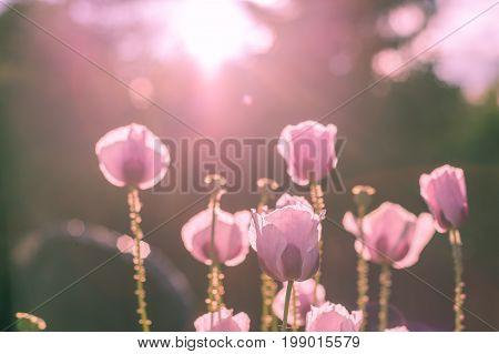 Pink Poppy Lightened By Sunshine