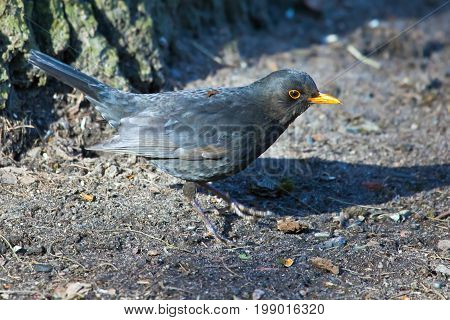 Blackbird hops along the ground in the Park. The male Blackbird in spring plumage. Ornithology bird watching
