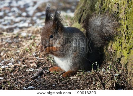 Furry squirrel sitting eating a nut. Rodent of the squirrel family sitting in the woods. Small furbearer object of commercial hunting in Russia