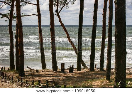 Silhouettes of pine stumps stormy in the sea background