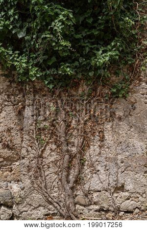 The ivy tree grows strongly rooted in a stone wall