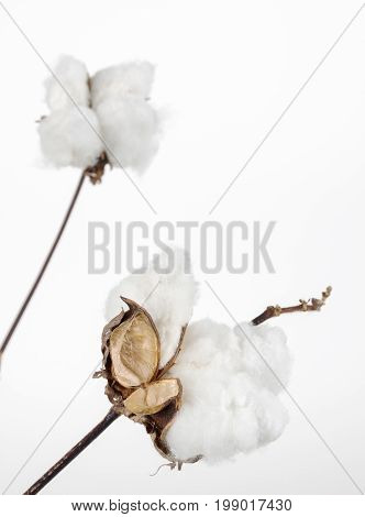 Close up of cotton bolls with mature fibers and copy space.
