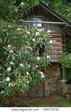 a restored log cabin behind a white-blooming rhododendron bush