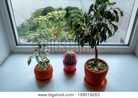 Three potted flower stand on windowsill and the flowers on the flowerbed outside the window Ficus benjamina Cactus.