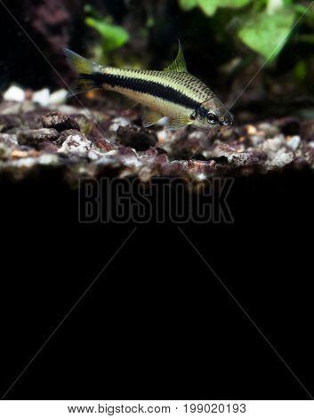 Crossocheilus siamensis Sae algae eater fish, freshwater tank landscape on black background. copy space.