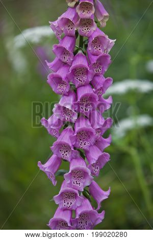 Blooming Foxglove. Flowers leaves stems inflorescence of digitalis during the growing season