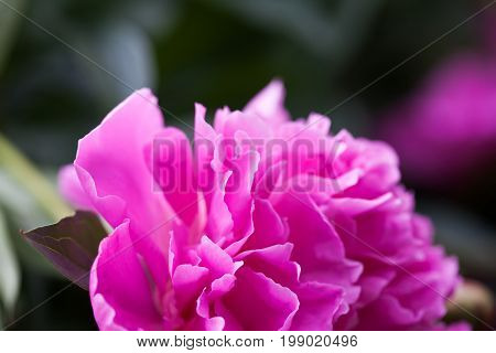 Closeup photography peony flower petals. Colorful textured decorative violet pink plant, shallow depth of field photo.